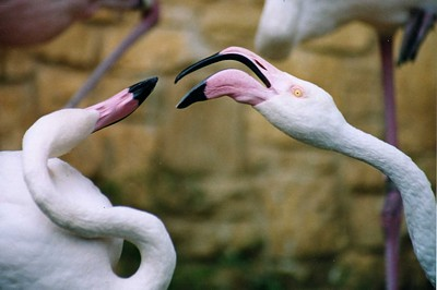 Fighting Flamingo